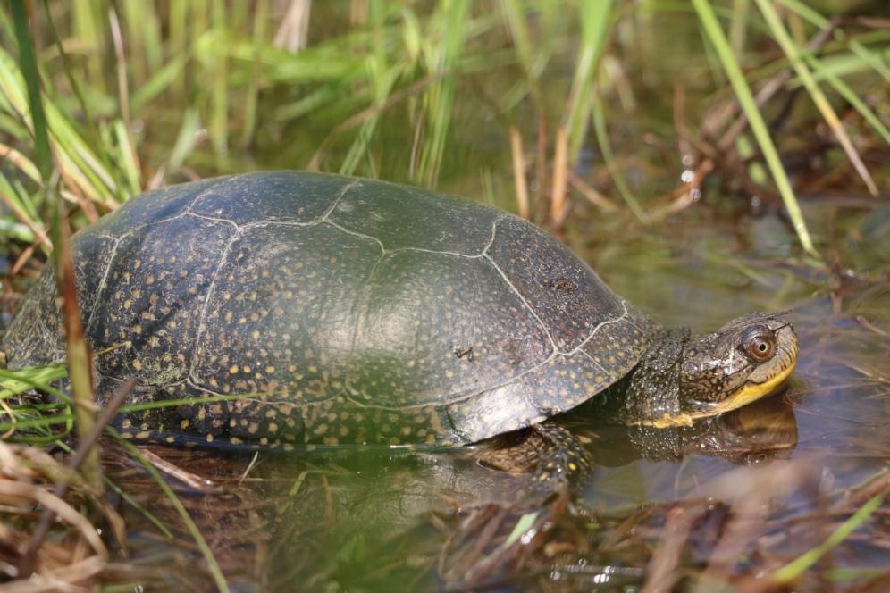 Species #31 for The Big Turtle Year, an adult Blanding's turtle ( Emydoidea   blandingii ) in southwestern Michigan. Photograph by George L. Heinrich.