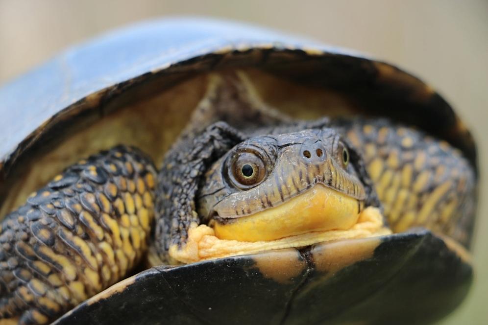 Profile of an adult Blanding's turtle ( Emydoidea   blandingii ) in southwestern Michigan. Photograph by George L. Heinrich.