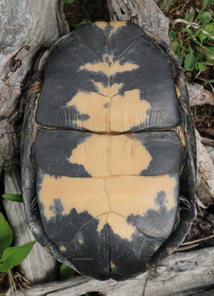 Plastron of an adult Blanding's turtle ( Emydoidea   blandingii ) in southwestern Michigan. Photograph by George L. Heinrich.