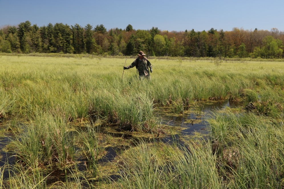 Jim Barzyk searching for Blanding's turtles ( Emydoidea   blandingii ) and spotted turtles ( Clemmys   guttata ) in southwestern Michigan. Photograph by George L. Heinrich.