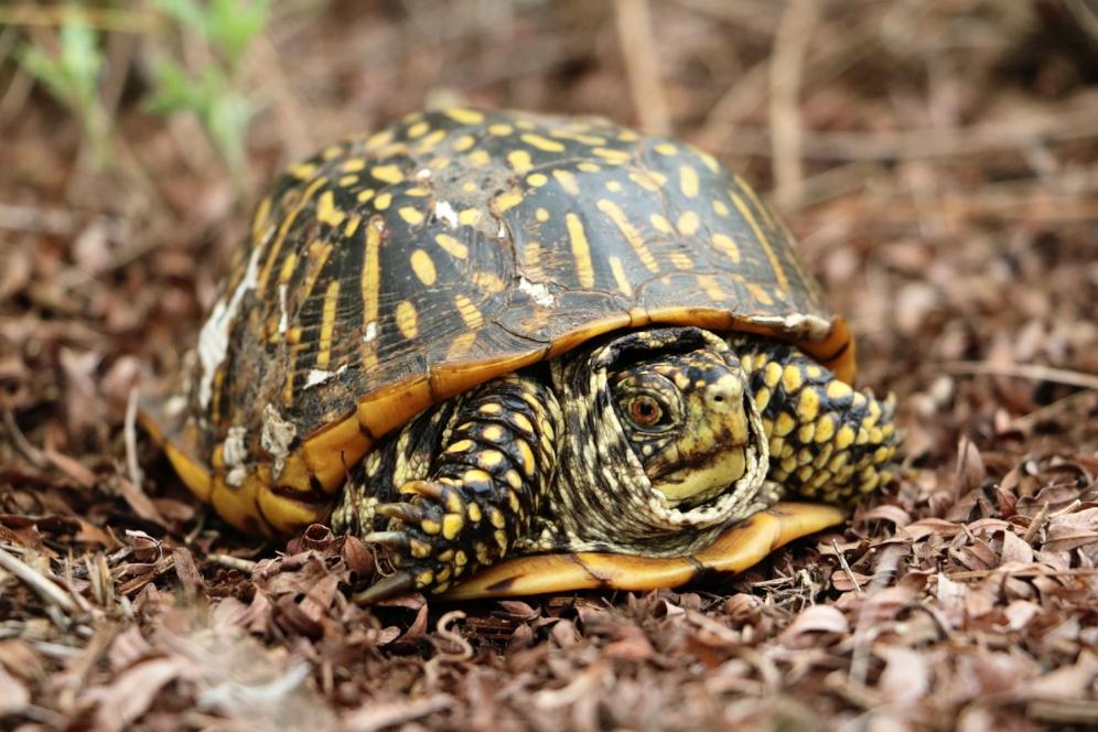 Adult female ornate box turtle ( Terrapene o.   ornata ) at the Thomson-Fulton Sand Prairie State Nature Preserve (Whiteside County, Illinois). Photograph by George L. Heinrich.