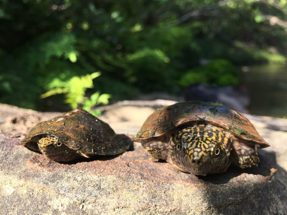 Two-year old (left) and five-year old (right) flattened musk turtles ( Sternotherus depressus )found in the Bankhead National Forest (Winston County, Alabama). Notice the keel on the younger specimen. Interestingly, the species hatch with a prominent keel as with other members of the genus, but it becomes less prominent as the turtles age.