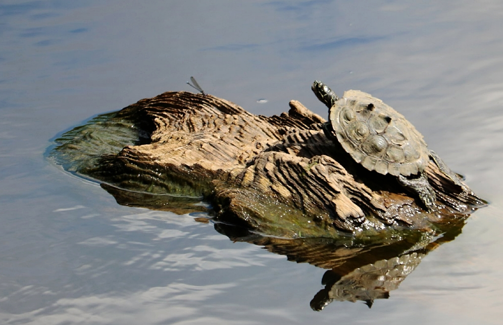 An adult male southern black-knobbed map turtle ( Graptemys   nigrinoda     delticola ) in  Mobile County, Alabama. Notice the knobs on the carapace which are more prominent in males than females. Photograph by George L. Heinrich.