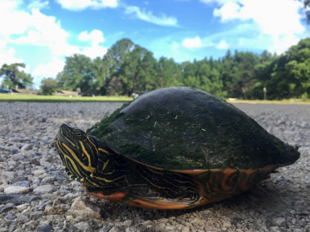 An adult male Alabama red-bellied cooter ( Pseudemys   alabamensis ) at the Five Rivers Delta Resource Center (Baldwin County, Alabama). Photograph by Timothy J. Walsh.