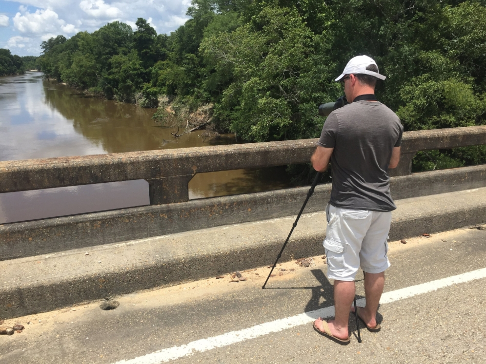 Tim Walsh searching for turtles from a bridge crossing on the Leaf River (Perry County, Mississippi). Numerous yellow-blotched map turtles ( Graptemys   flavimacula ta) and Pascagoula map turtles ( Graptemys   gibbonsi ) were seen on the log snag near the center of the photo. Photograph by George L. Heinrich.