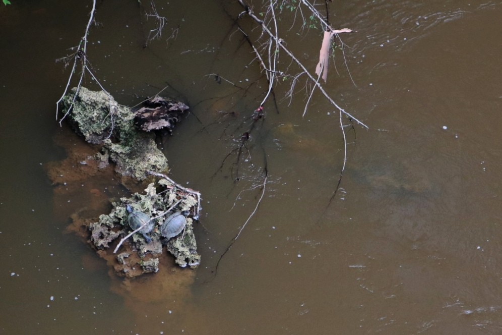 Two adult female Escambia map turtles ( Graptemys   ernsti ) basking on a limestone outcrop in the Sepulga River (Escambia County, Alabama). Photograph by Timothy J. Walsh.