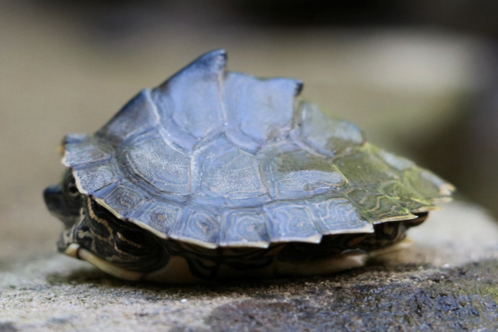 Profile view of the exaggerated keel of a juvenile Alabama map turtle ( Graptemys pulchra ) in the Bankhead National Forest (Winston County, Alabama). Photograph by George L. Heinrich.