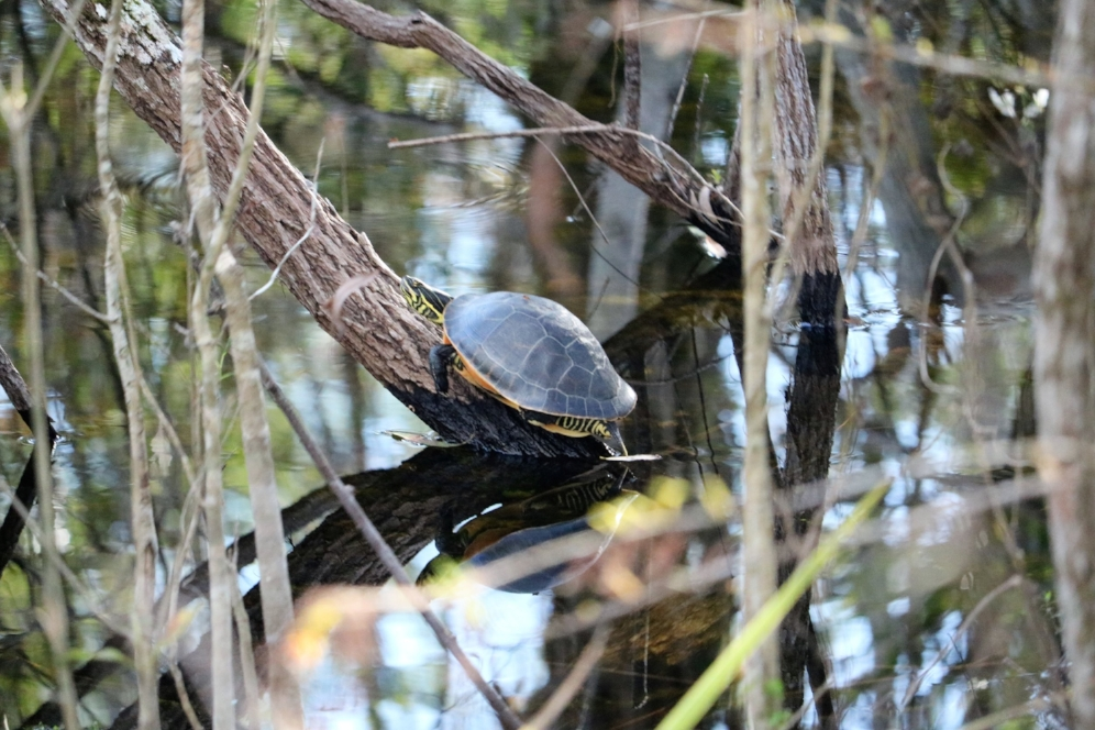Basking Florida chicken turtle ( Deirochelys   reticularia     chrysea ) in Fakahatchee Strand State Preserve (Collier County, Florida). Photograph by George L. Heinrich.