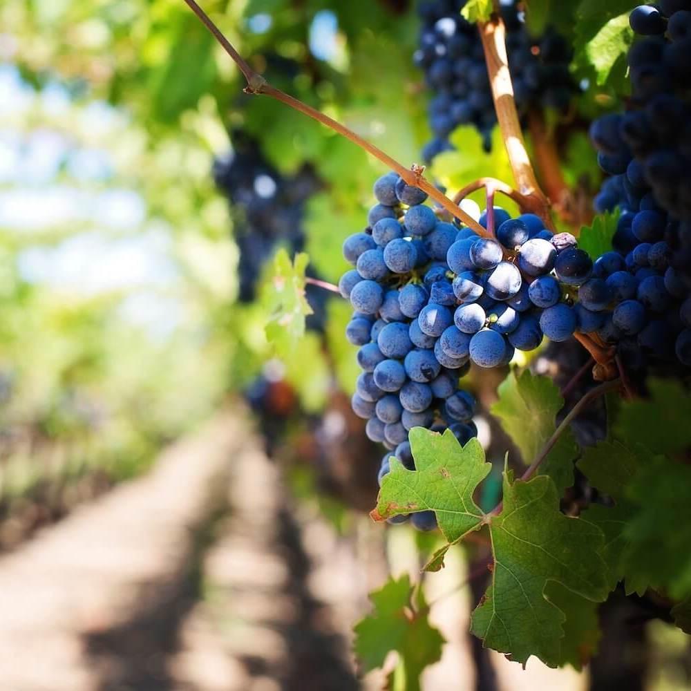 Grapes growing at a Napa or Sonoma winery