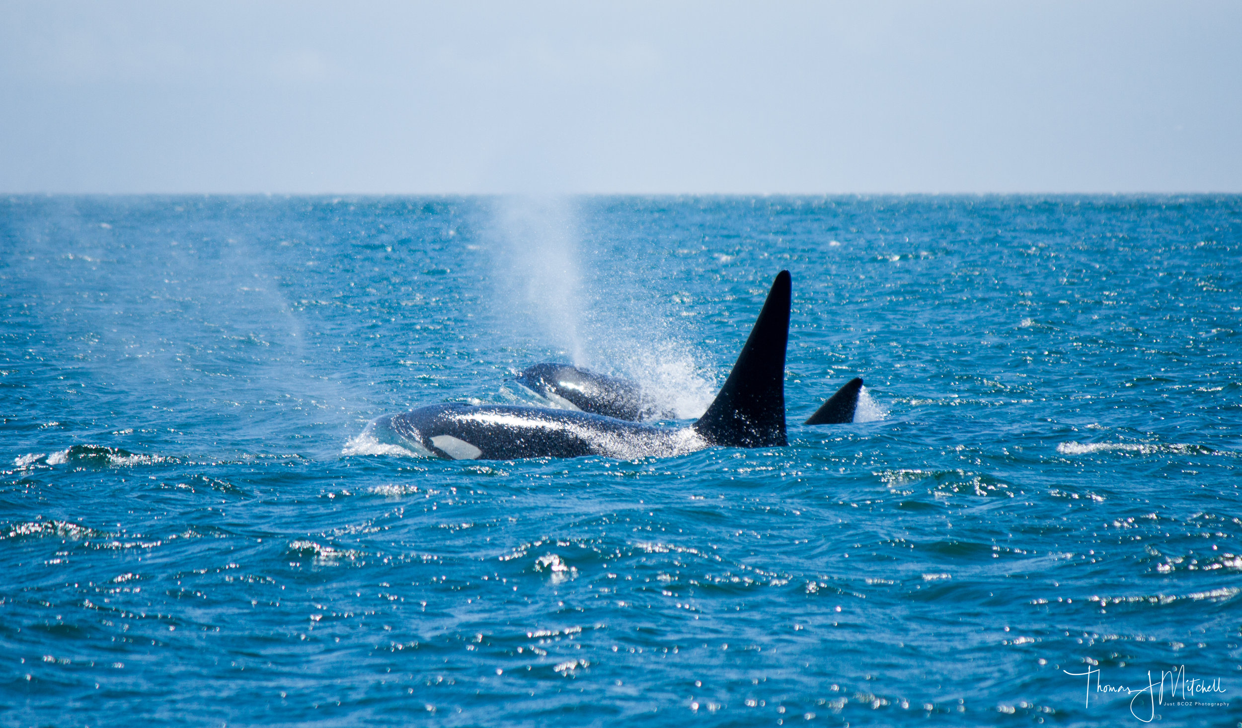 A shot from one of our Capt. with his morning interaction with Bigg's orca