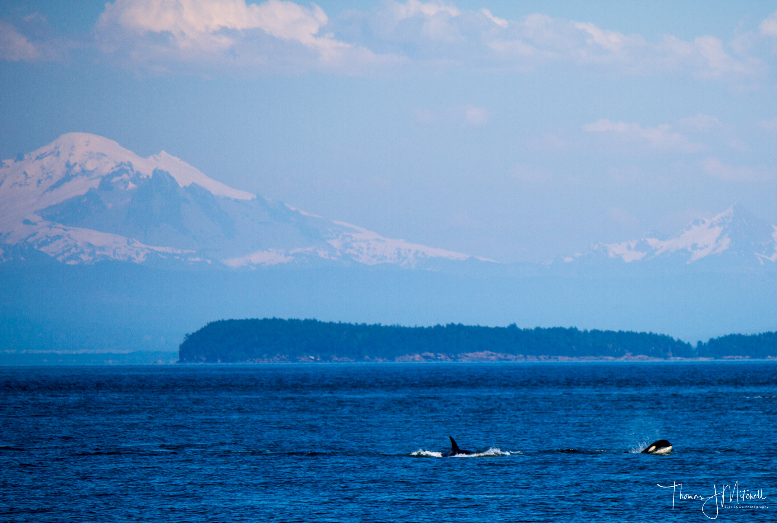 The afternoon expedition encountered a large group of Bigg's orca with Mt. Baker in the background.