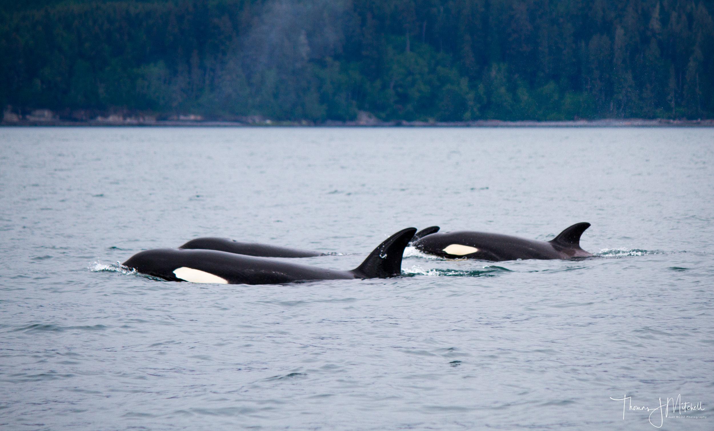 Female & Juvenile Bigg's orca cruising past Sombrio beach on Vancouver Island