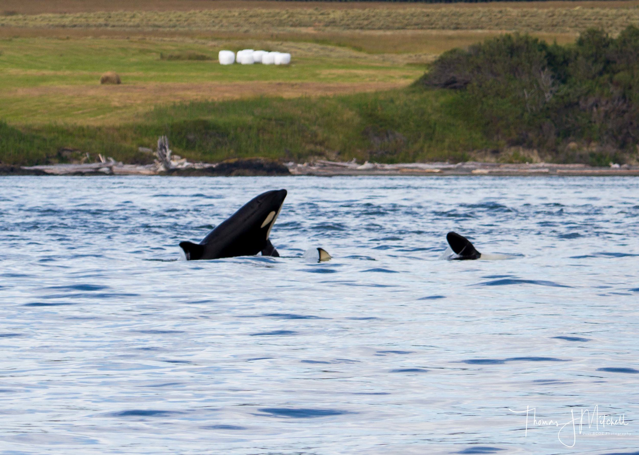 a few young members of J pod socializing with one another along San Juan Island