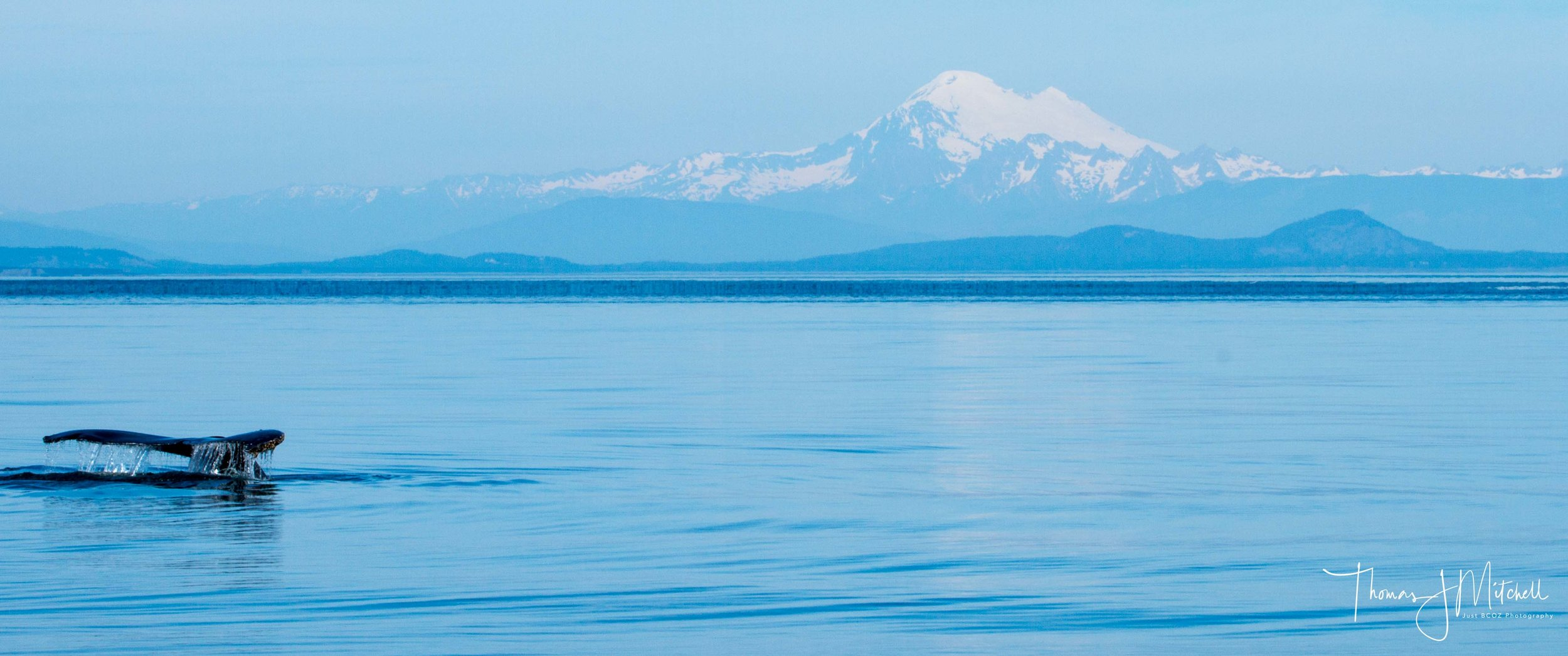 A humpback descending on a longer dive with Mt. Baker in the background