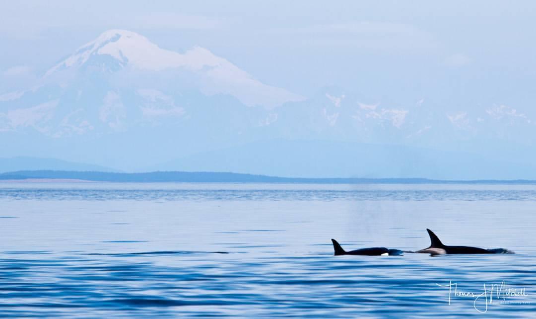 whales+mtbaker.jpg