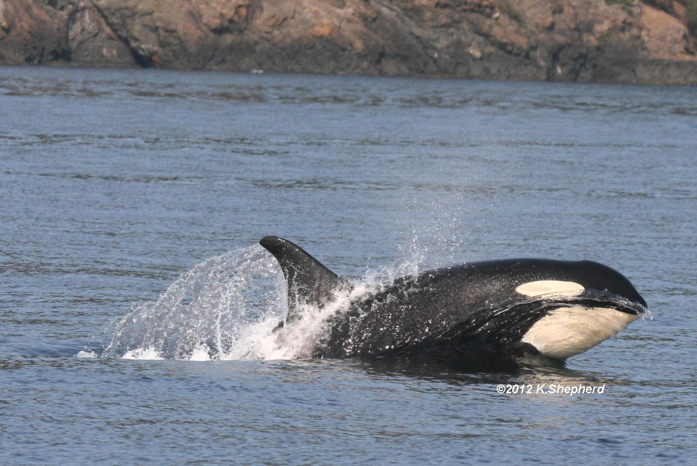 Female mid porpoise, clear shot, right side.jpg
