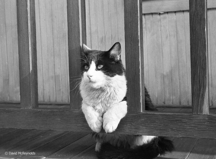 Mephistopheles, David's cat in Ocean Park before moving to NYC, 1954. (54-5)