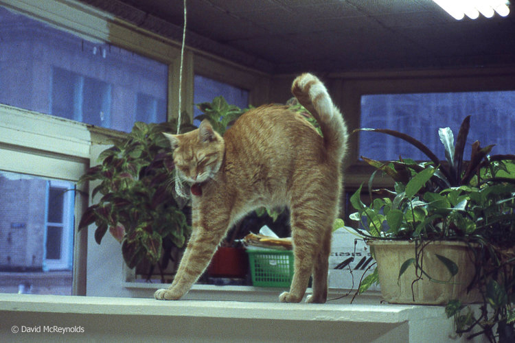 AJ, WRL office cat, Nov. 1990.