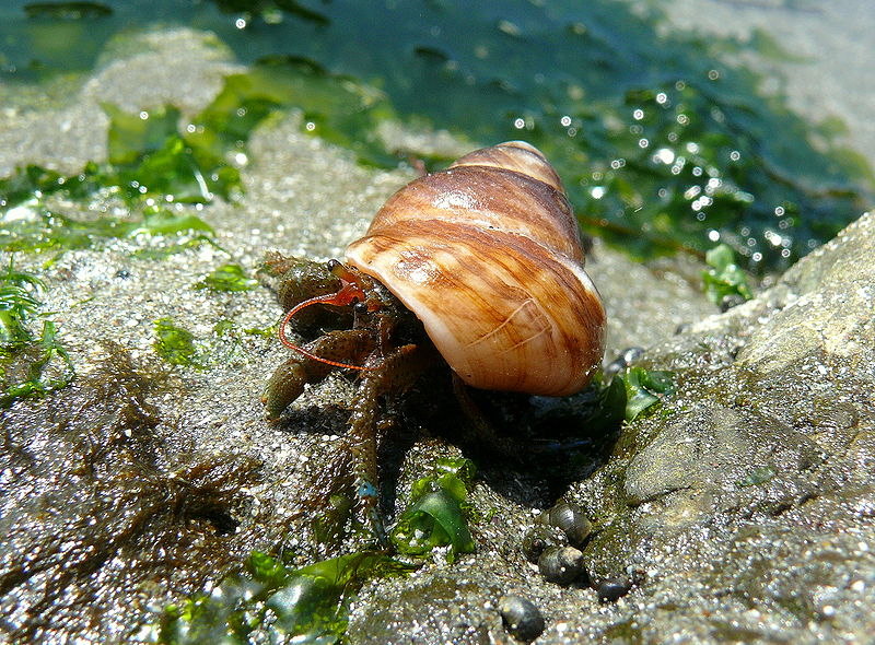 Hermit crabs were observed to leave their shells after exposure to sediment vibration. Linda Tanner (CC-BY-2.0)