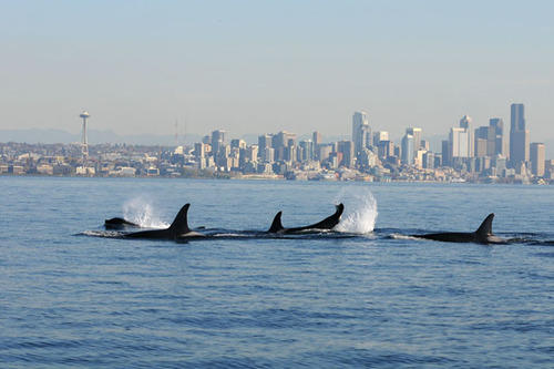 A pod of Southern Resident orcas swimming off the coast of Seattle   Credit: NOAA
