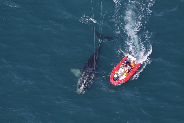 Efforts to disentangle a North Atlantic right whale from fishing gear; 72% of all right whales have been entangled at some point in their lives.   Credit: National Oceanic and Atmospheric Administration (NOAA)