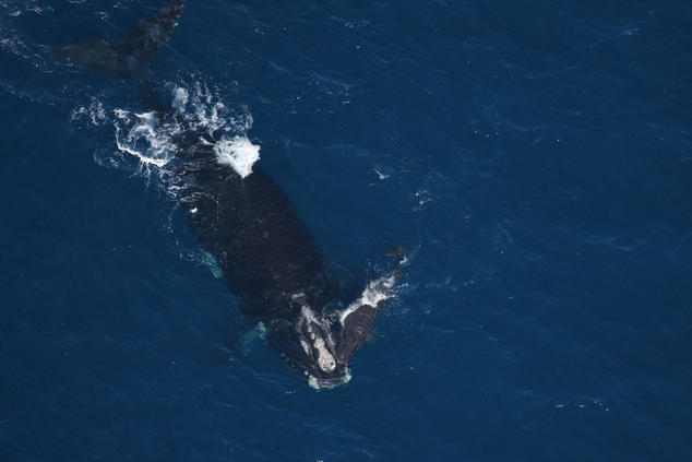 The loss of a single North Atlantic right whale calf may jeopardize the survival of the species   Florida Fish and Wildlife Conservation Commission, NOAA Research Permit # 594-1759