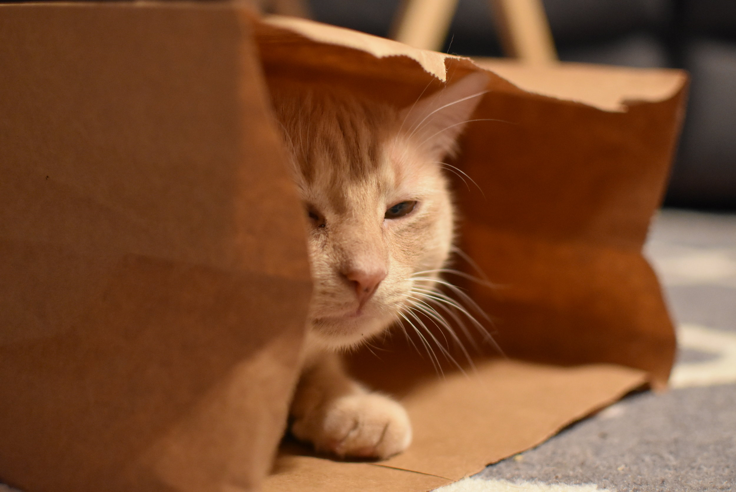 Yet another photo of the same orange kitty in a paper bag…this time squinting at the camera.