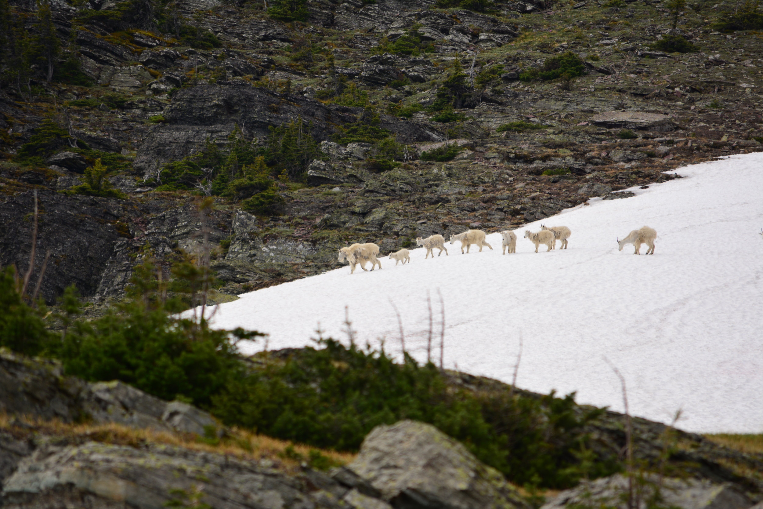 Mountain Goats near the top of Swiftcurrent Pass