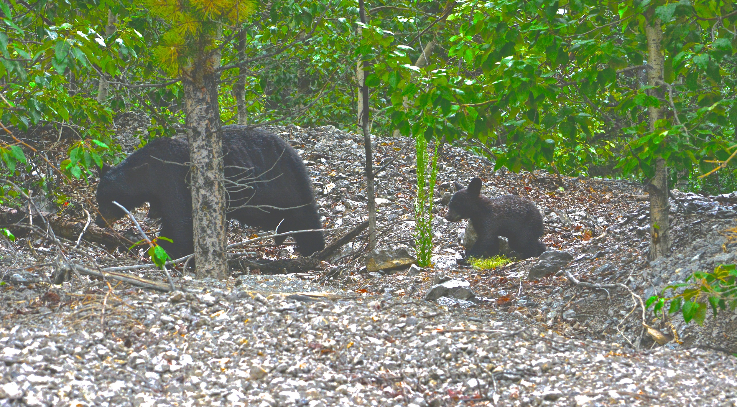 Momma black bear and baby cub (the picture looks a little funny due to the lack of exposure on the original, had to edit so you can see the little cub!)