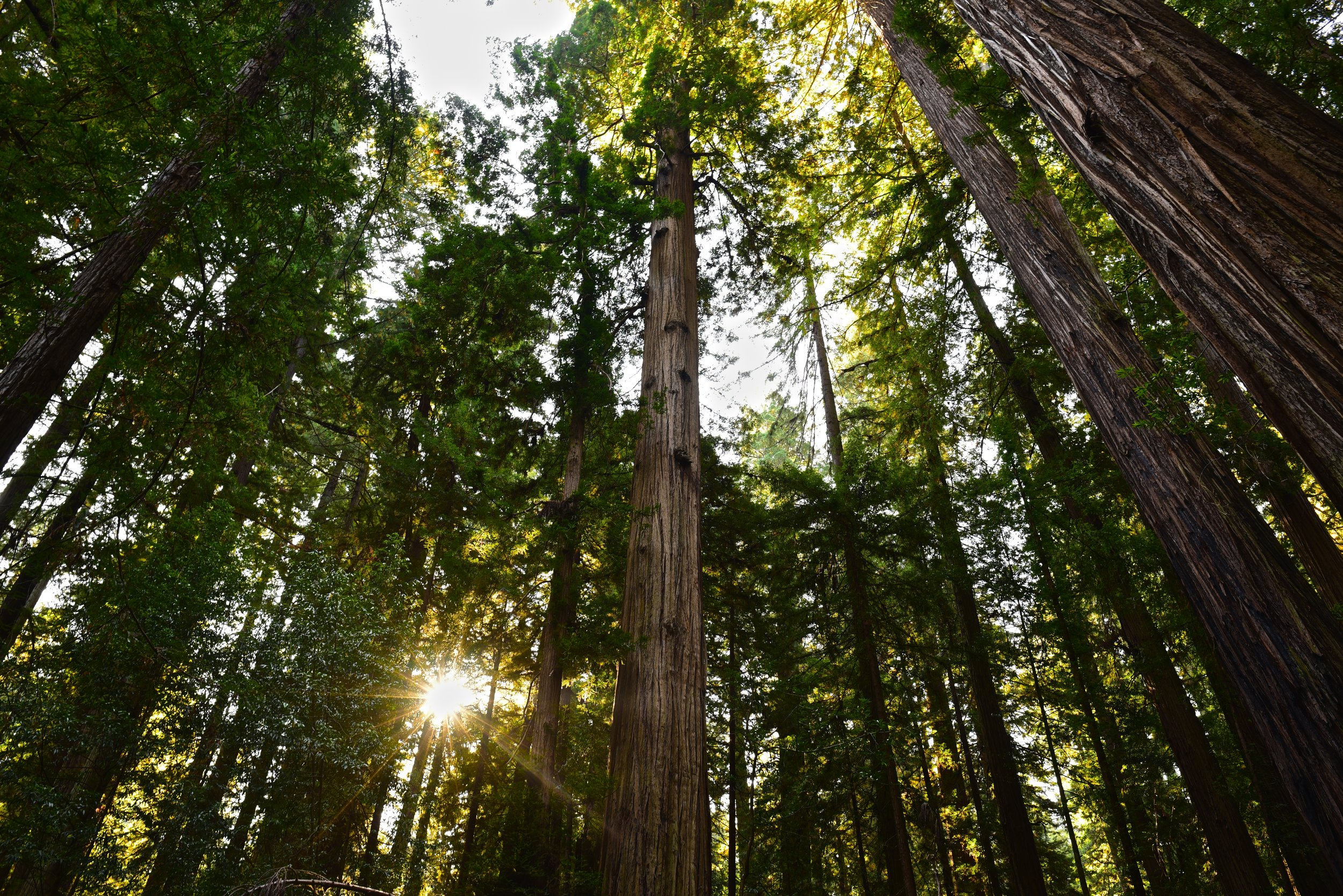 Sunburst peaking through the Redwoods