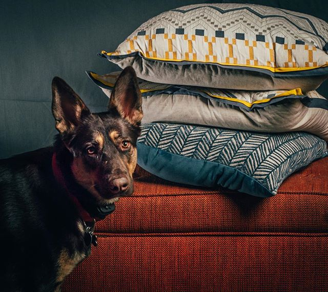 """""""I heard you were using these pillows to test your lighting setup. I thought I'd help you out."""" #rudythedog #dogsofinsta #strobist #petportrait #nikkor50mm14 #nikkor50mm #studio #woof"""