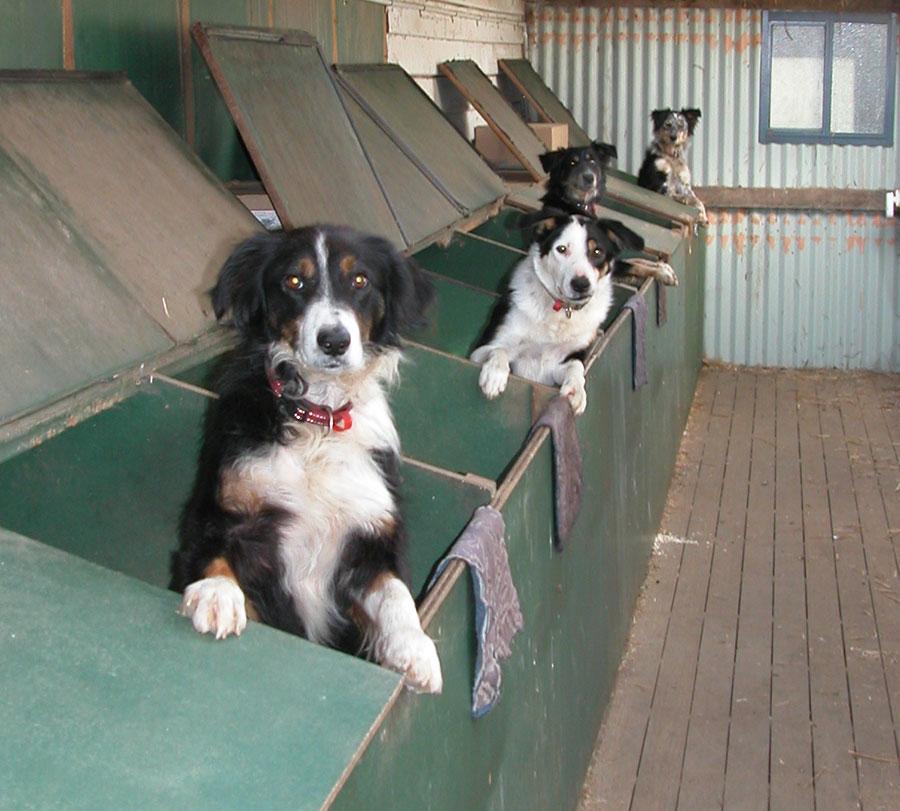 Dog stars: Flynn, Joker, Blaze and Pearl in their kennel boxes, hoping for dinner.