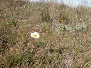Hill daisy in my ironstone grassland ecosystem