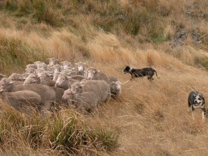 Mac (centre) and Chance working sheep in the long dry grass last summer.