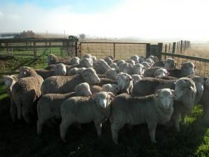 Jem's year class of ram lambs–2012