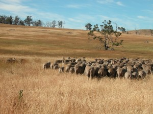 Sheep going into Eagle Tree paddock, with rank cocksfoot grass in the background