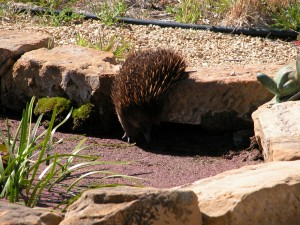An echidna about to discover he CAN swim–in my ornamental fish pond, on a very hot, very dry day a couple of weeks ago.