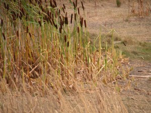 """Bullrushes grazed preferentially by the mob–these are another potential """"weed"""" in riparian areas"""