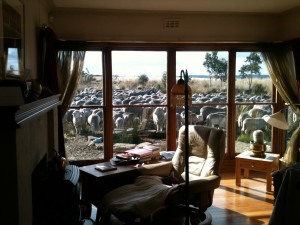 """Using the sheep to """"weed"""" around my house. The pet lambs ended up briefly in the fishpond, but the sheep did eat the exotic grasses quite effectively."""