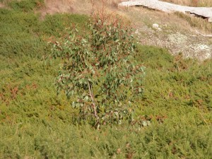 A young gum tree growing up safely in the middle of a dense gorse patch