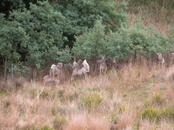 On the grazing circuit–enjoying silver wattle.