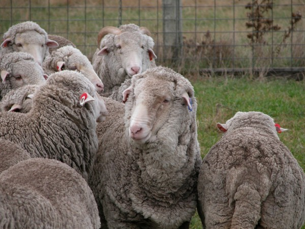 Old Leader in the main yards in 2012. Her distinctive ear tags make her fairly easy to spot if she isn't hiding in the back of the flock.