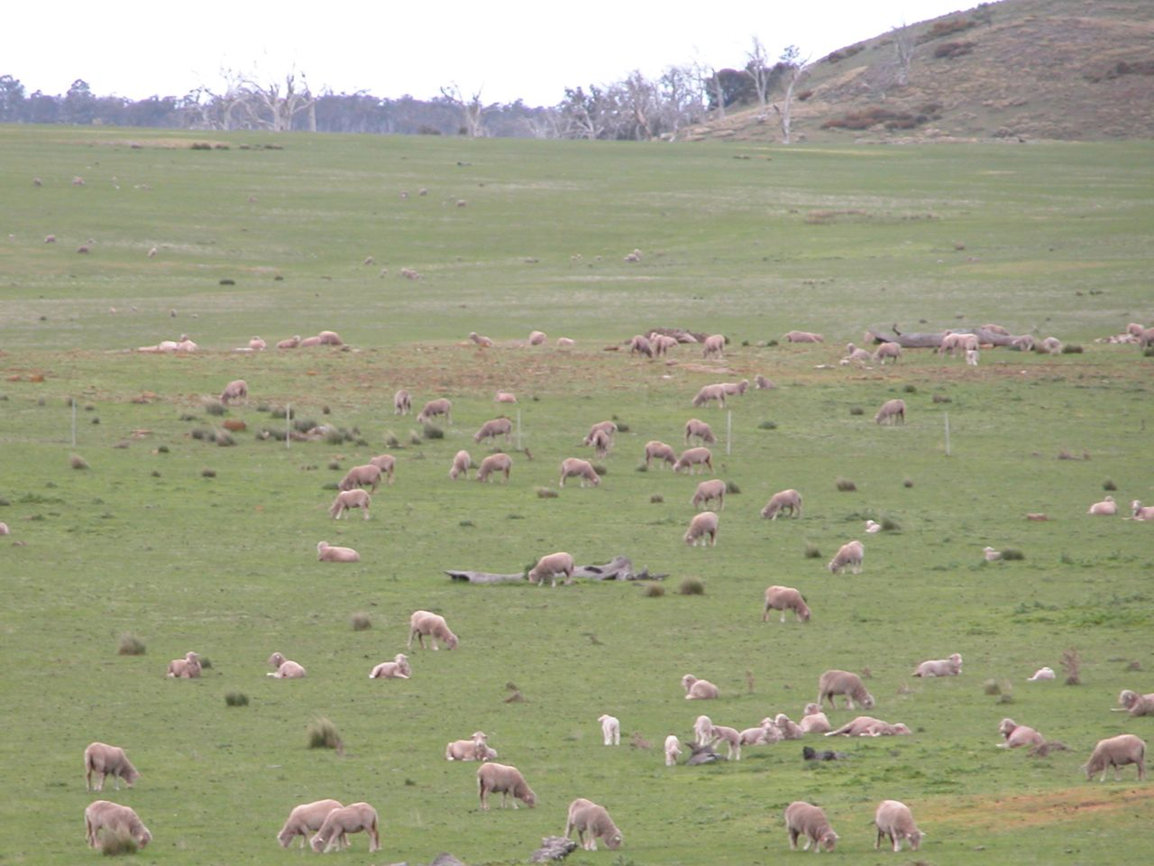 Part of the flock at maximum telephoto range