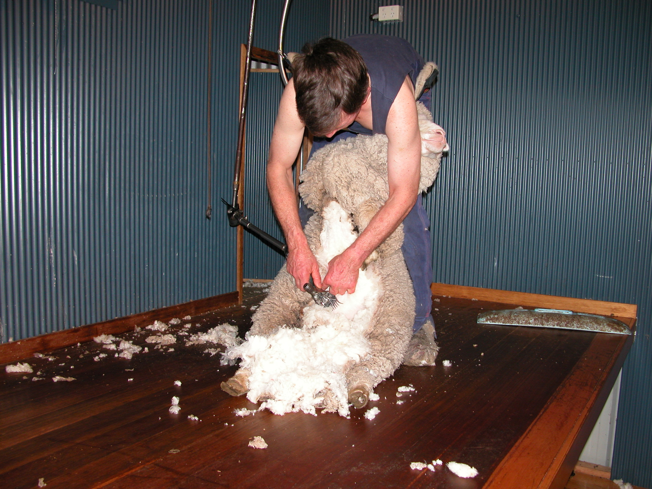 Greg Scott shearing a pregnant ewe