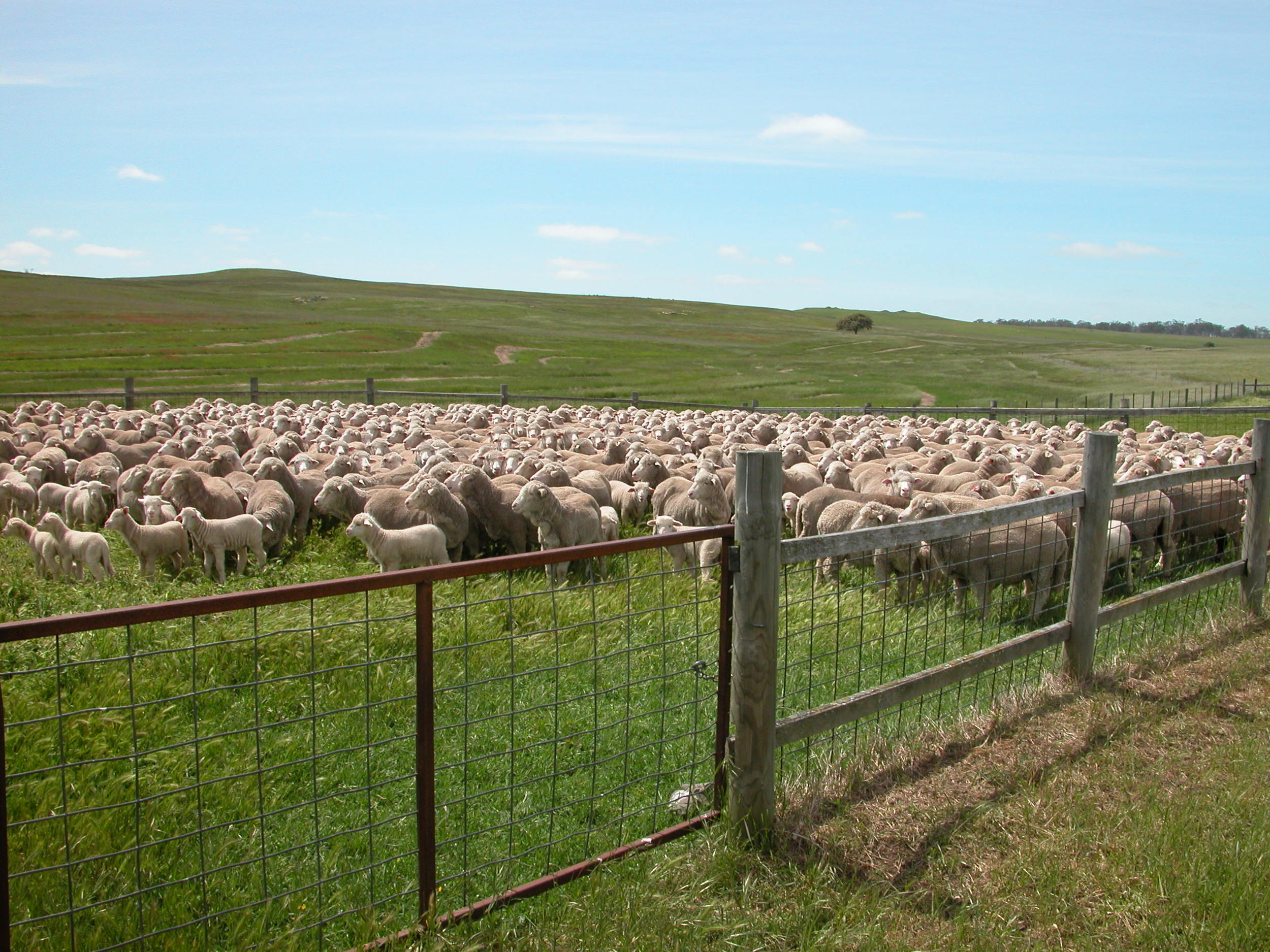Ewes and lambs ready for drafting.