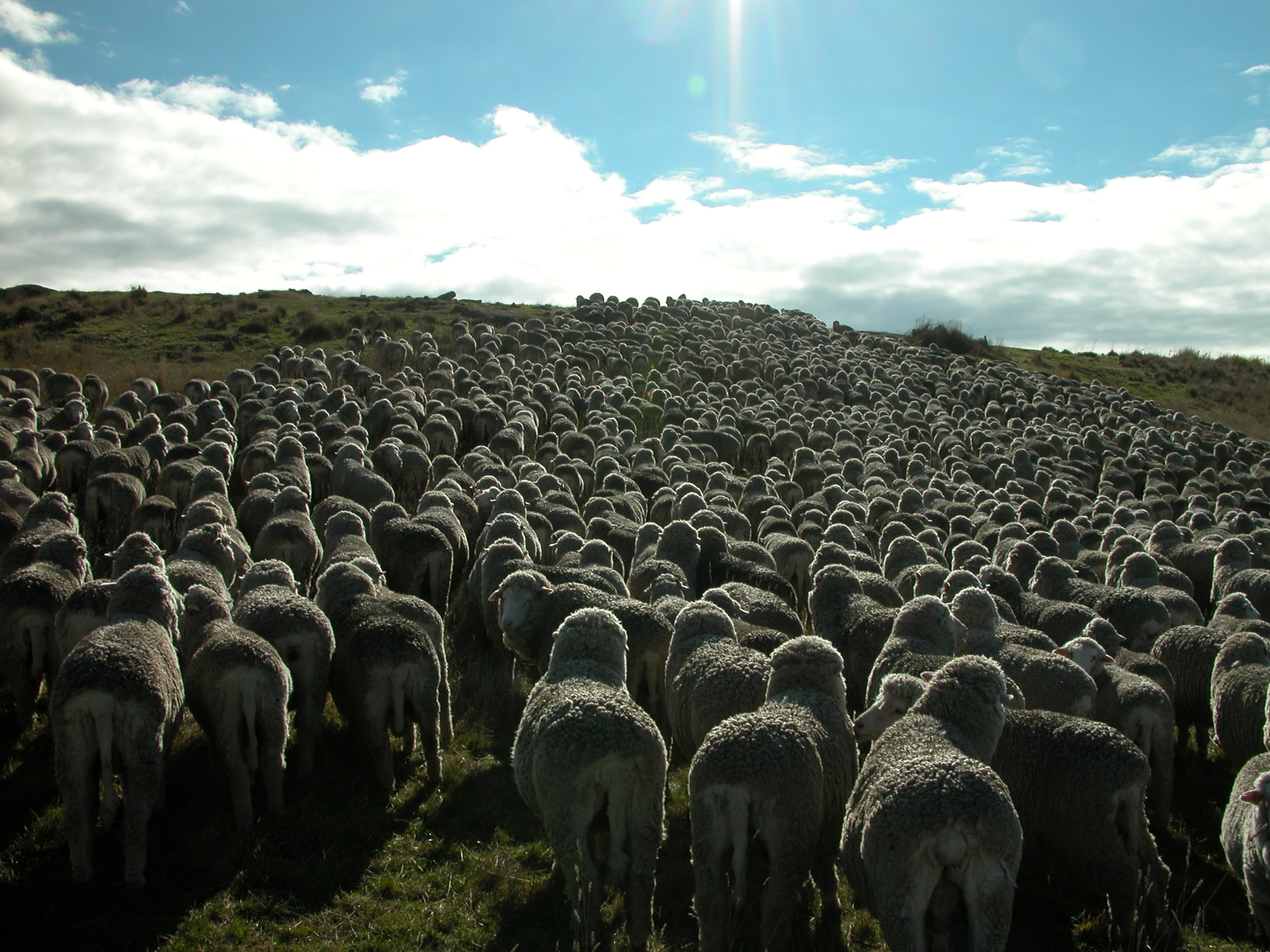 Heading up the hill to the gate, after the lamb rescue. It does look like a thousand sheep when they are in a mob, doesn't it?