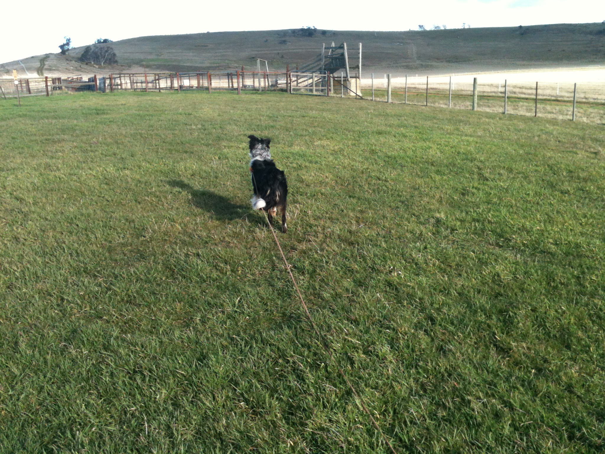 Pearl ready to start a training session–she knows the sheep are in the yard ahead