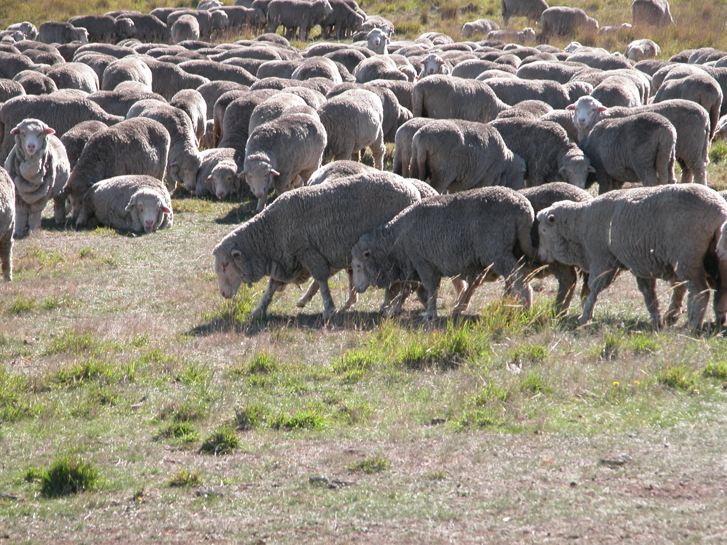 Hillary and her daughters starting one of their rounds through the resting flock.