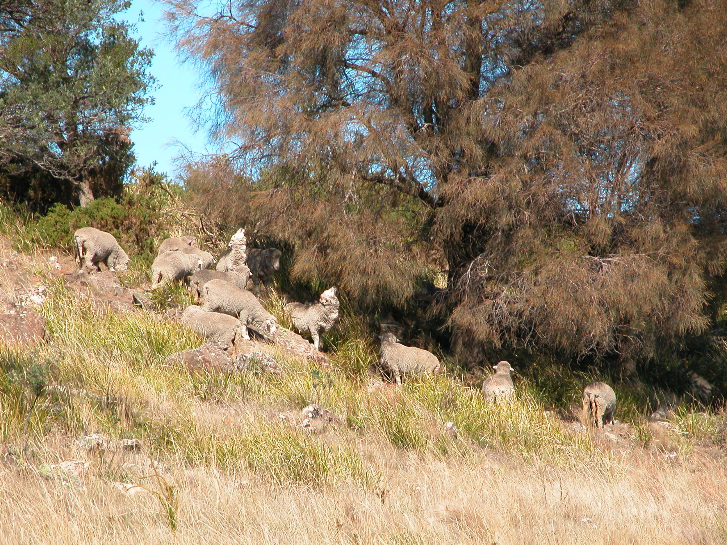Trying out she-oak (Allocasuarina verticillata) needles in one of the reserves ungrazed for the last 18 months.