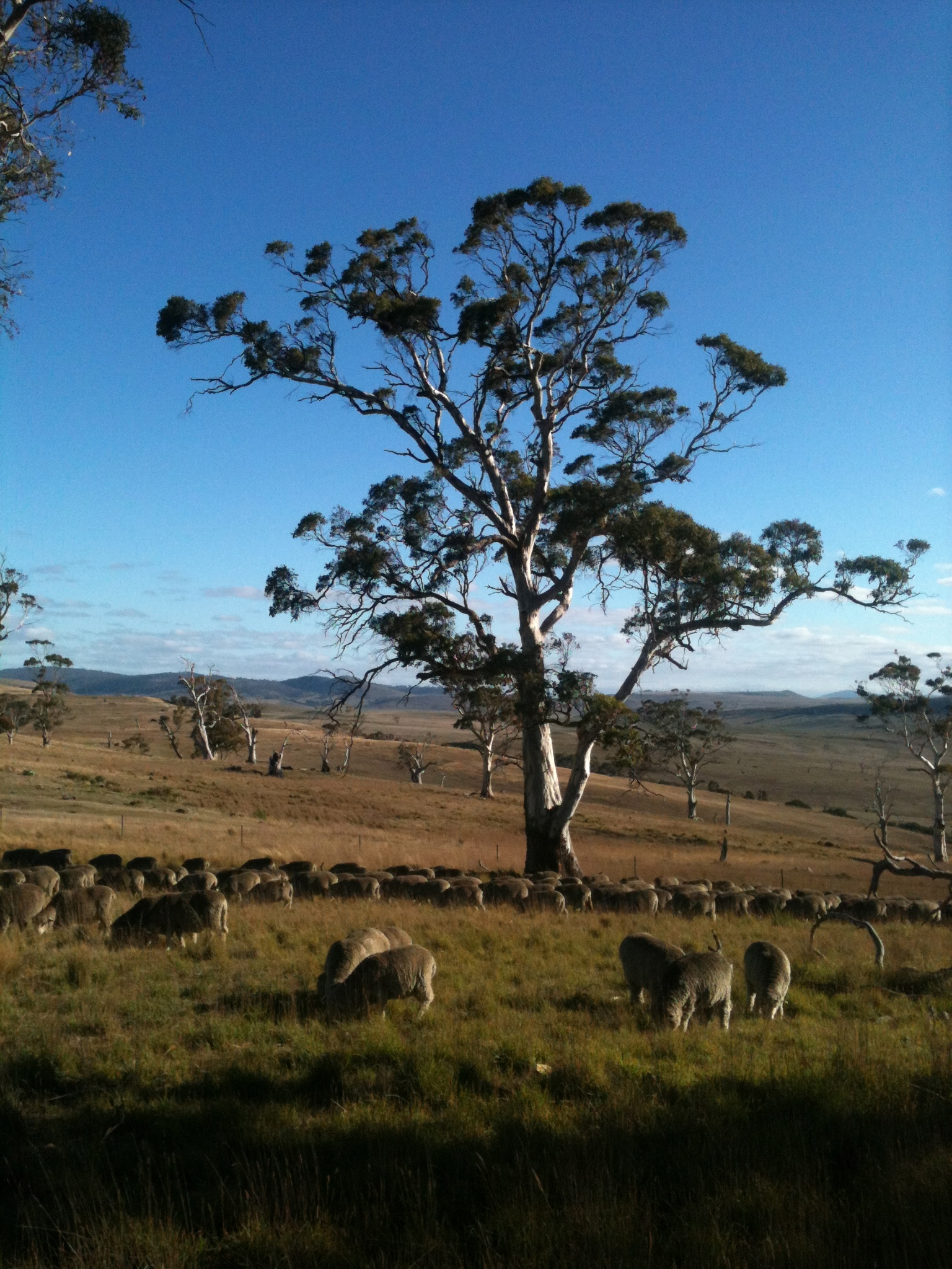 Just before mid-day rest in the grazing circuit, the flock is enjoying a particularly nice bit of forage, with a white gum (eucalyptus viminalis) as backdrop.